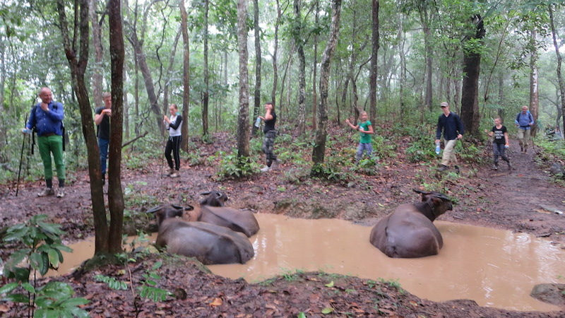 Buffaloes bathing while guests pass