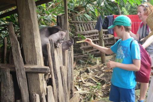 Meeting Palong pigs family adventure