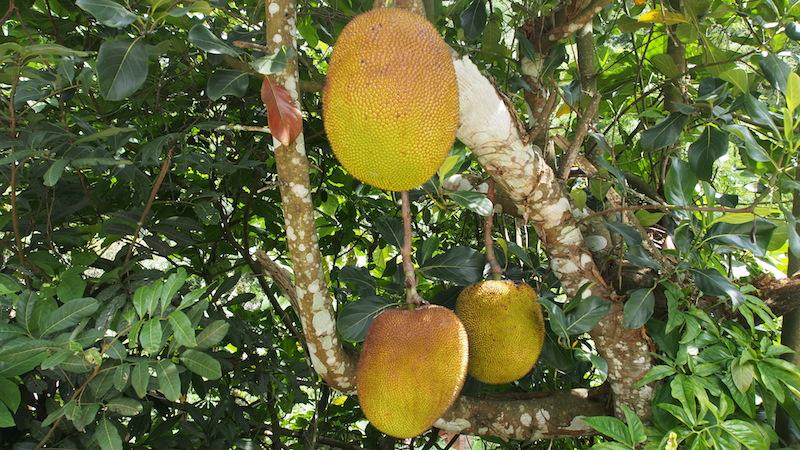Wild jackfruit in Mae Kampong
