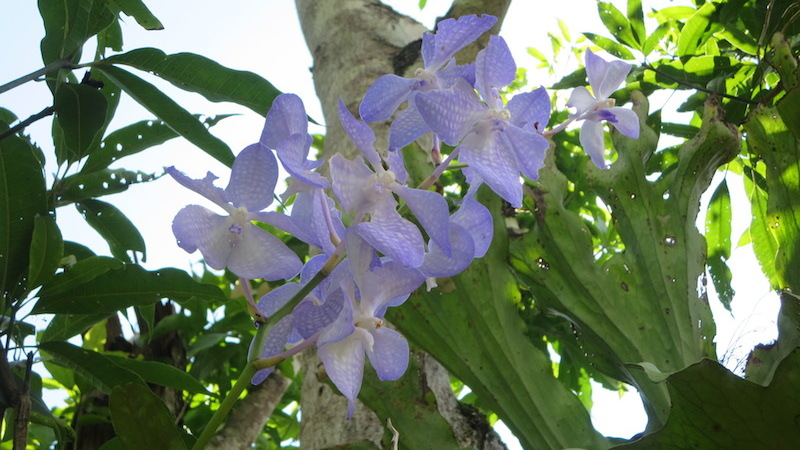 purple wild orchid