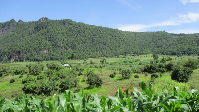 Green Fields and forest Chiang Dao