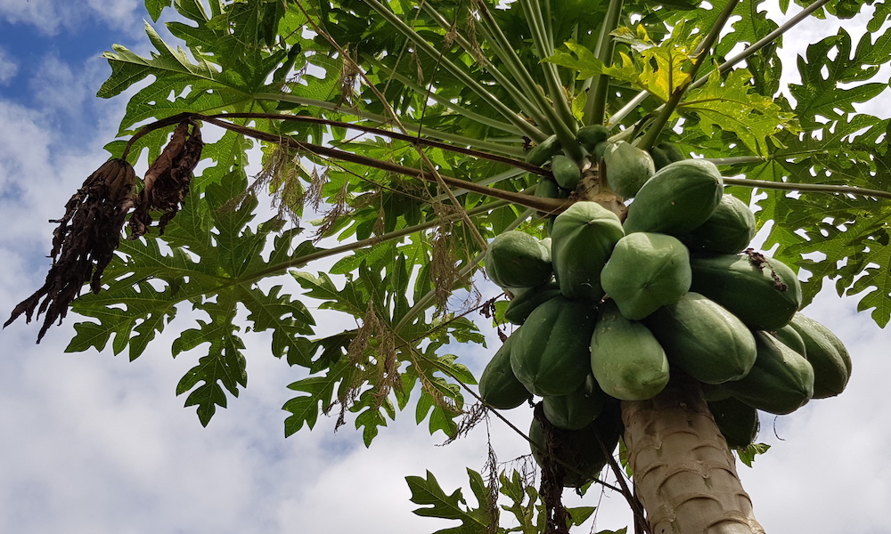 Papaya on a tree