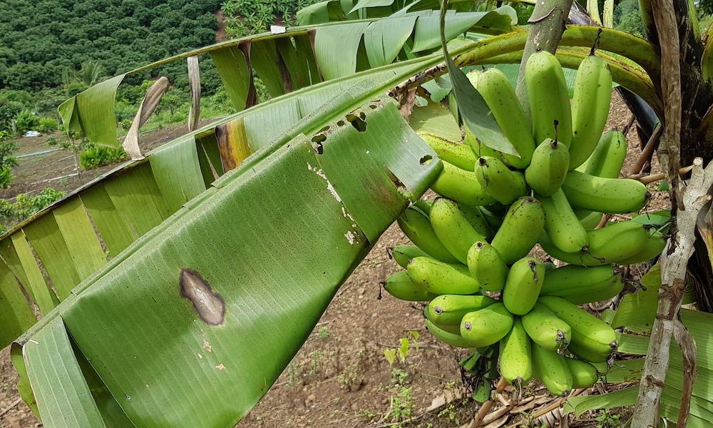 bananas in Sukhum's garden healthy food