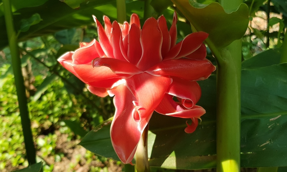 Red ginger flower Mae Wang