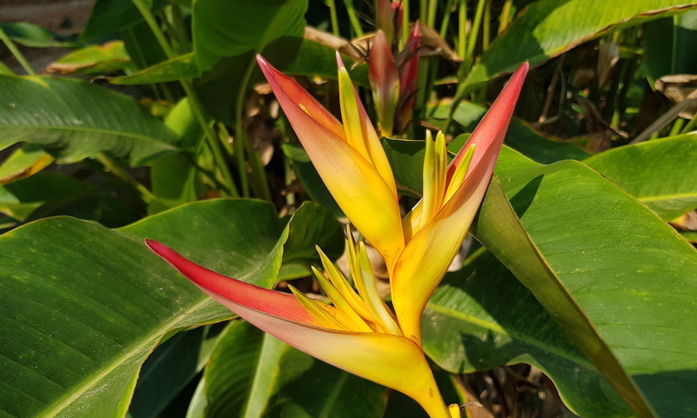colorful heliconia flower Mae Wang