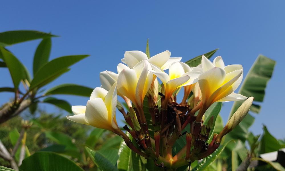 White Lilawadee flower Mae Wang