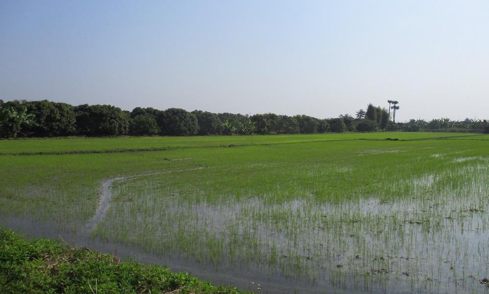 ricefield San Patong
