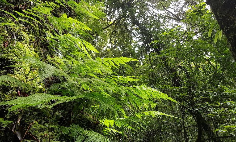 Ferns on Angka Nature Trail Doi Inthanon