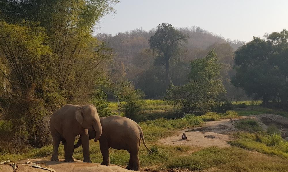 Two elephants Mae Wang