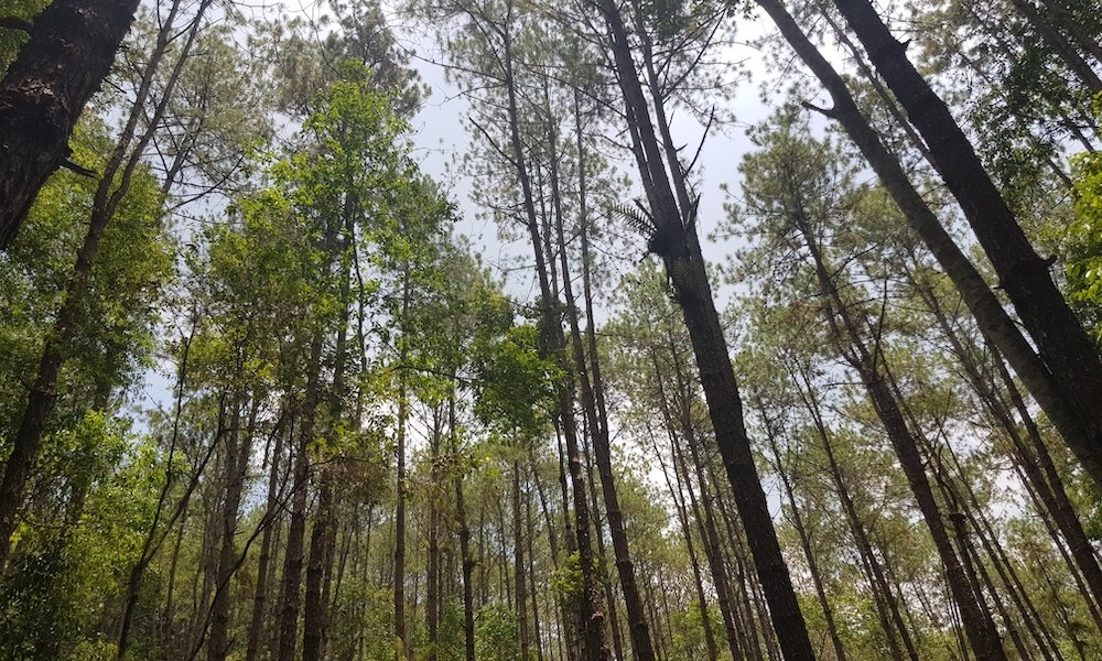 Giant pine trees Doi Inthanon