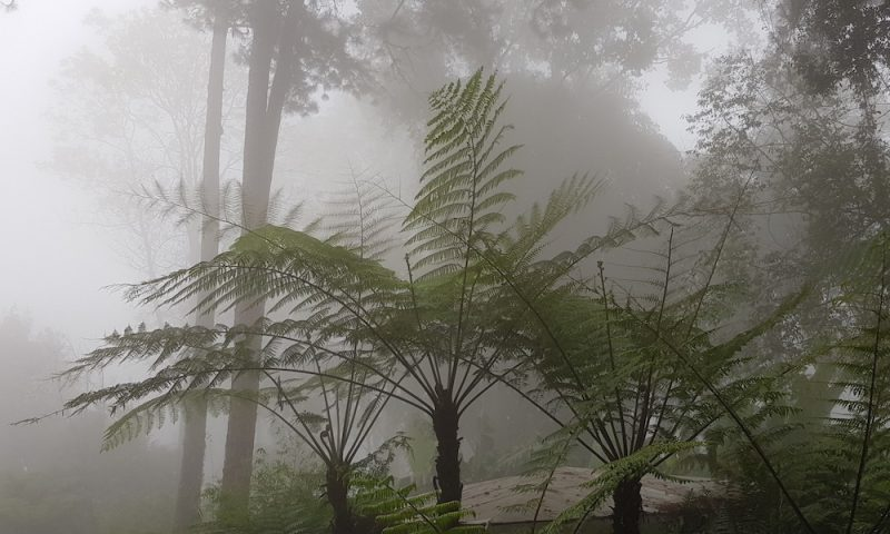 Ferns in the morning fog Doi Suthep-Pui National Park