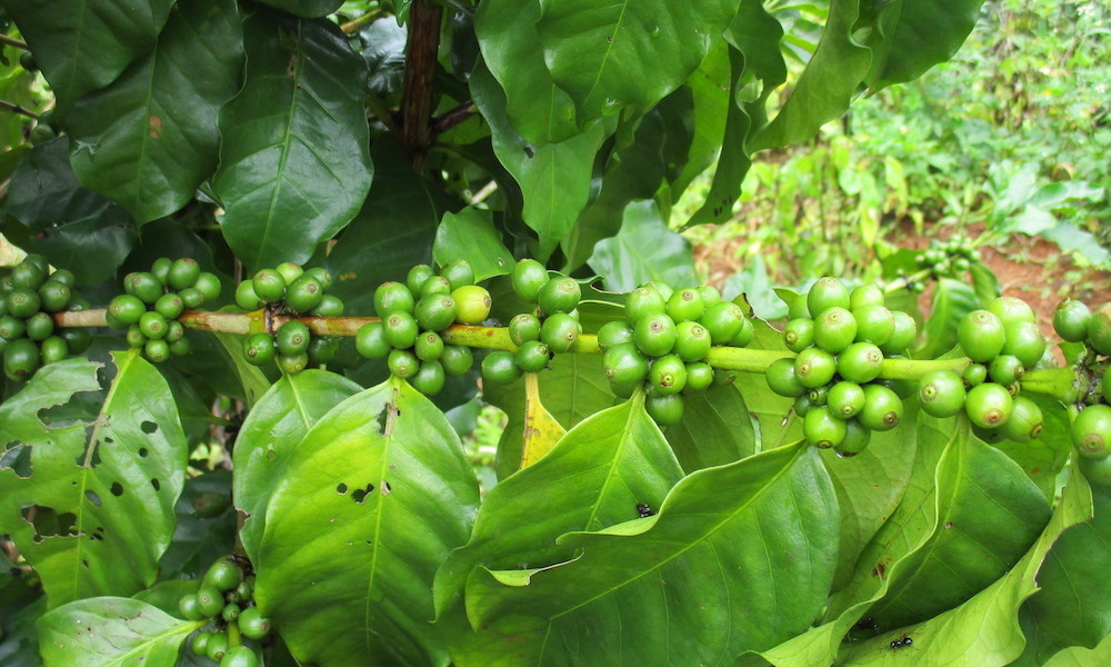 beans on a branch with green leaves