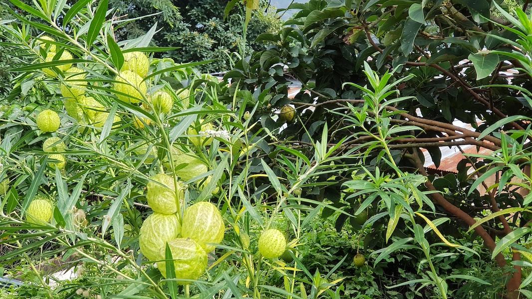 Green ball plants