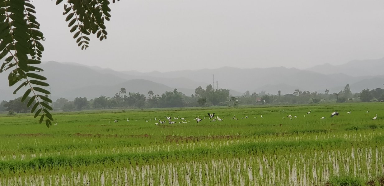 Birds in rice fields with mountains in the background