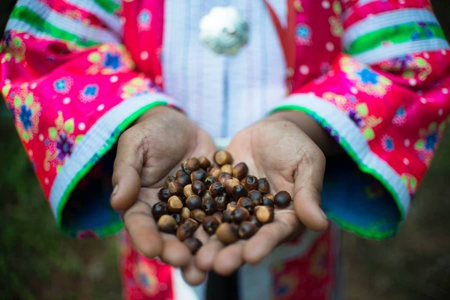 Coffee beans in hands of tribal person Chiang Mai coffee tour