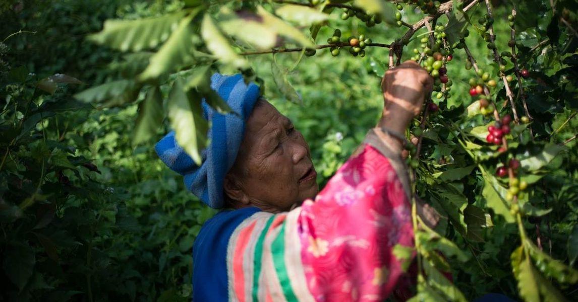 Tribal woman harvesting coffee