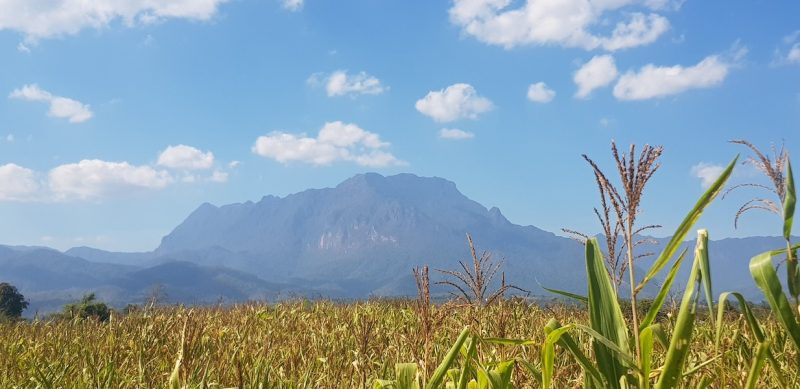Corn field with mountain in the background Chiang Dao