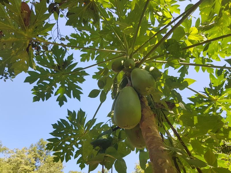 Plant with papaya fruit healthy food