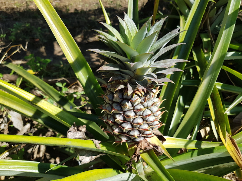 Pine apple with plant