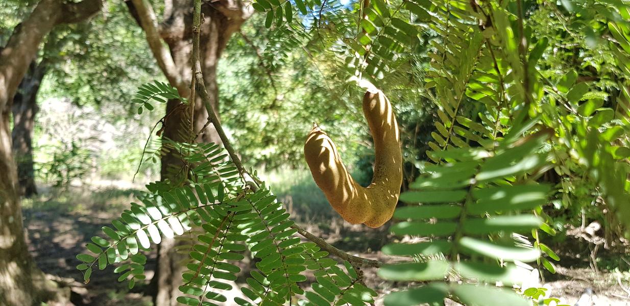 Tamarind on a tree