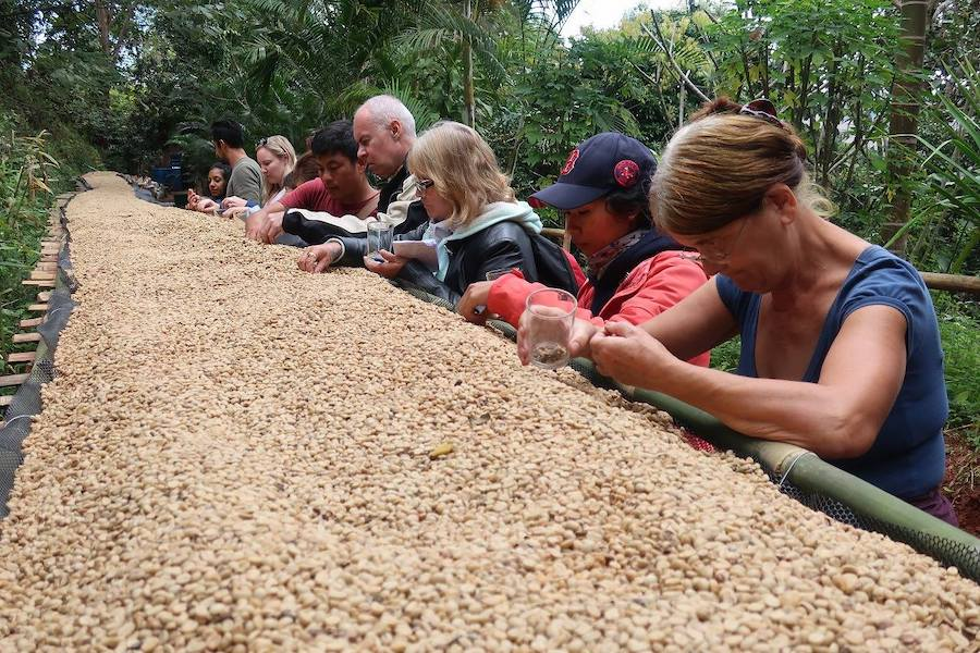 Tourists sorting coffee beans