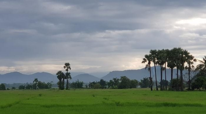 Green rice fields with sugar palms Mae Kampong
