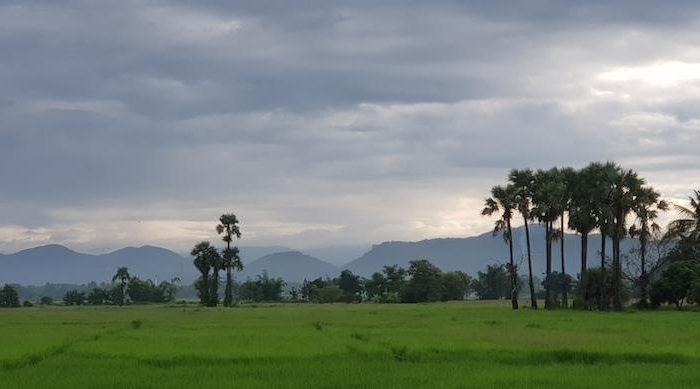 Green rice fields with sugar palms Mae Kampong