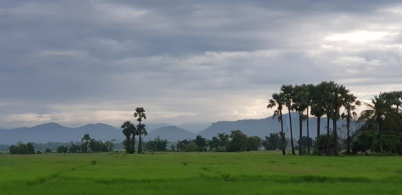 Green rice fields with sugar palms