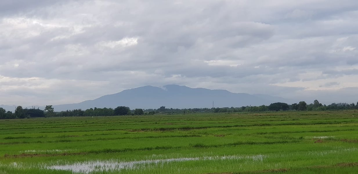 Green rice fields with mountain
