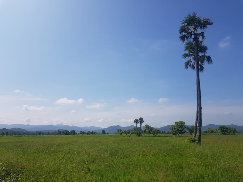 Rice fields with palm