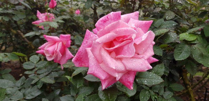 Pink rose Doi Suthep-Pui National Park