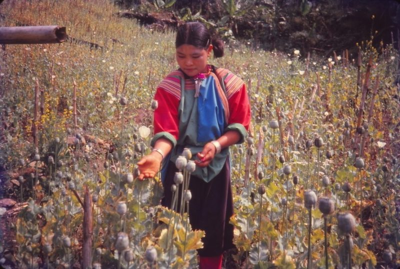 A tribal woman in a poppy field hill tribes opium